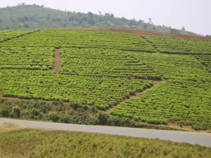 Burundi : thé : la feuille de la discorde