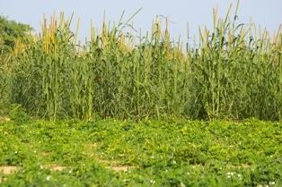L'agriculture irriguée dans le Sahel ouest-africain
