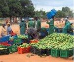 Étude de marché sur la transformation de la mangue en Afrique de l'Ouest