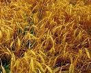 L'Afrique Subsaharienne perd 4 milliards de dollars par an en post-récolte