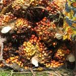 Le palmier à huile en Afrique : le passé