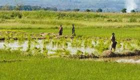 Burkina-Faso, l'arme du riz contre la crise alimentaire