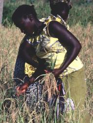 Pour booster la production rizicole au Sénégal: Sept super-priorités