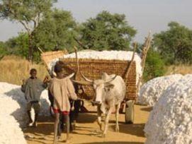 Coton africain: défis