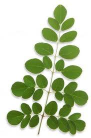 Information sur le moringa : Tout le monde s'intéresse au Moringa oliefra