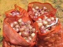 Pour protéger la production - La filière oignon veut se mettre sous le parapluie de l'assurance