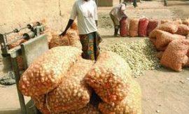 Filière échalote: Le label Mali s'impose dans la sous-région