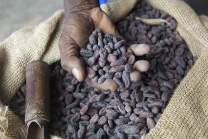 Production de cacao record en Côte d'Ivoire