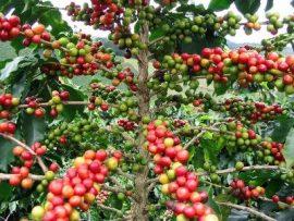 Réforme café-cacao - Les planteurs veulent une plus grande implication !