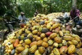 Réforme Café-Cacao : Le modèle Caistab peut-il marcher ?