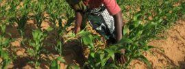 Bénin : les encadreurs agricoles vont à l'école des producteurs