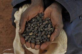 Parole de paysan au sujet du jatropha : « Il n'y a pas de bénéfice dedans ! »