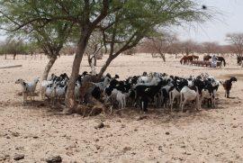 Bulletin de synthèse n°6 - Le pastoralisme en Afrique subsaharienne : connaître ses atouts