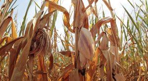 Maïs: la catastrophe du biocarburant