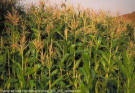 Flambée du marché mondial des céréales et des oléagineux - Eléments d'analyse au 21 août 2012