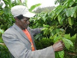 Le café revit dans la région de l'ouest du Cameroun