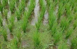 Echos rizicoles n°9 (janvier 2013) : bulletin d'information du CCRB
