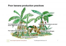 African Organic Agriculture Training Manual: Banana Crop Management