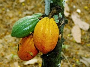 Presse : Le cacao camerounais veut tirer profit de ses atouts pour devenir une référence internationale