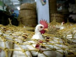 Impacts of Common External Tariff on Nigeria's poultry industry