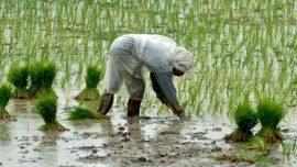 Opinion - Utiliser les OGM contre la malnutrition : le cas du riz doré