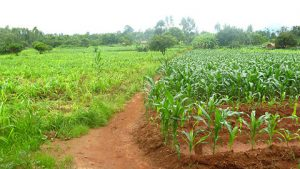 Agricultural input subsidies and Malawi