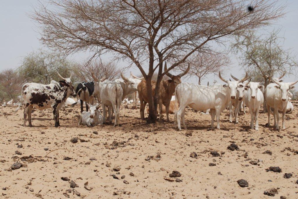 Rapport IIED : Gérer la vie en dents de scie : soutenir des moyens de subsistance résilients au climat dans la région du Sahel