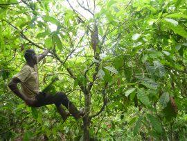 Pénurie de cacao ? Agro-industrie et planteurs villageois.