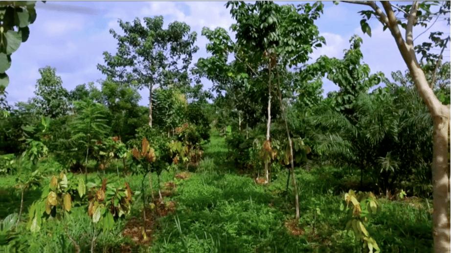 Bibliothèque sur l'agroforesterie du cacao