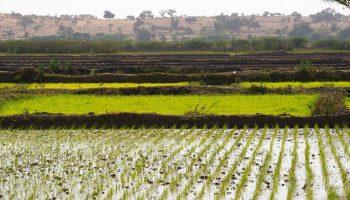 CTA: Les tendances du secteur du riz en Afrique de l'Ouest
