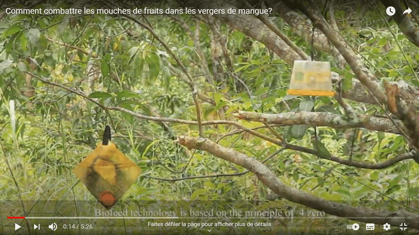 Comment combattre les mouches de fruits dans les vergers de mangue?