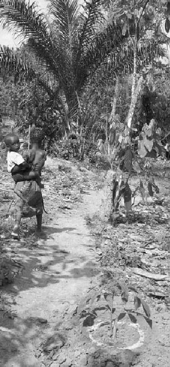 Le verger de cacaoyers en cours de reconversion en hévéa ? La voie semble tracée (ici le jeune hévéa entouré d'un cercle d'engrais, sous les cacaoyers)  © F. Ruf (Cirad)